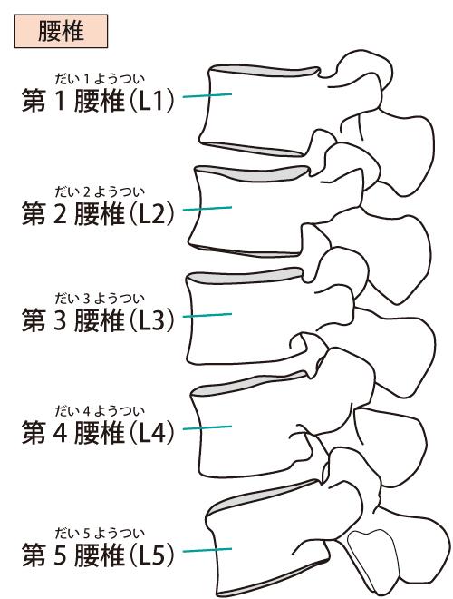 腰椎のイラスト