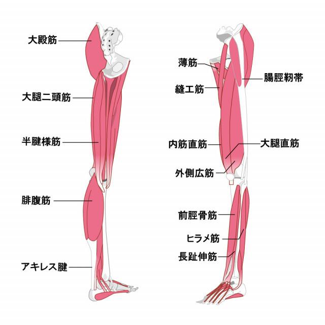 両足筋肉のイラスト