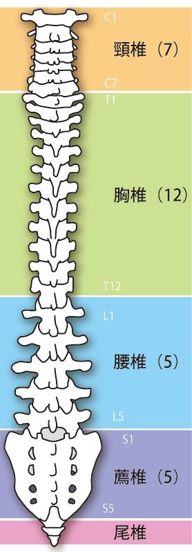 背骨の種類イラスト