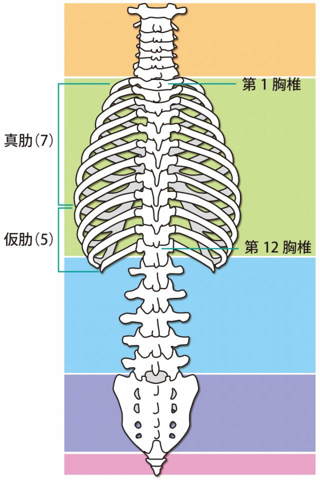 肋間神経痛のイラスト